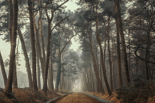 Path of Pines