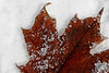 Leaf in Snow 1