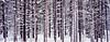 Snow Trees Banff