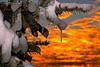Snowy Pine 2