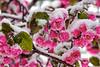 Apple Blossom Snow 2