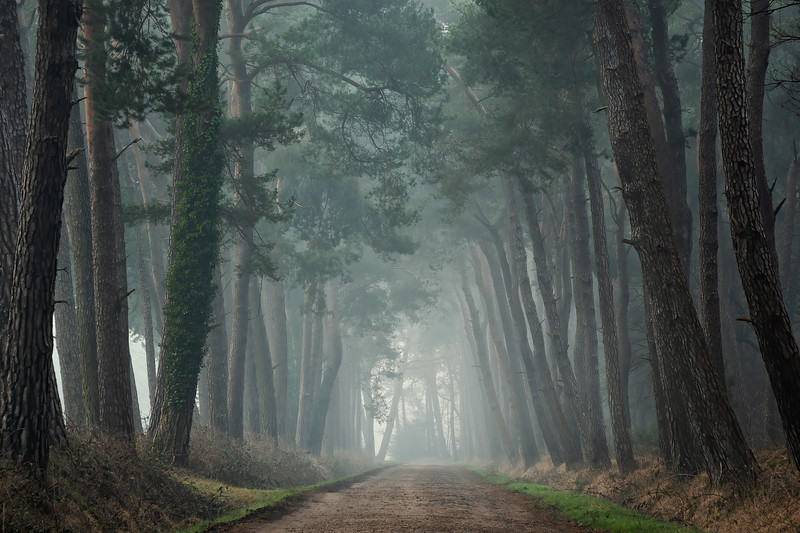 Road of pines
