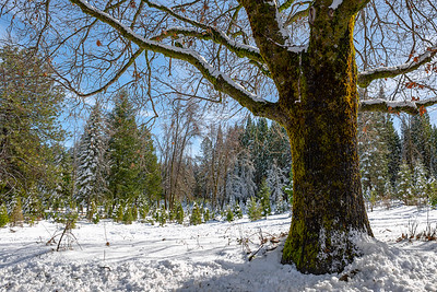 Large moss covered tree with snowy trees in the background