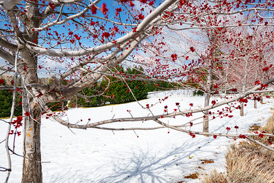 Image of a blooming red tree with snow on the ground and a vineyard in the background