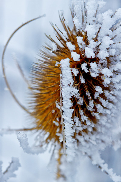 Thistle Frost