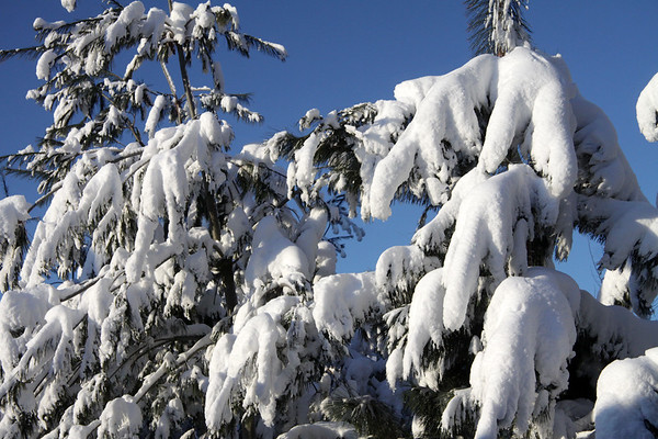 Snow loaded limbs of the White Pines.