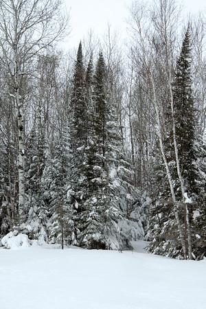 Mid-winter season's fresh overnight snow, upon the Quaking Aspen (Populus tremuloides) - White Birch (Betula papyrifera) - White Pine (Pinus strobus).