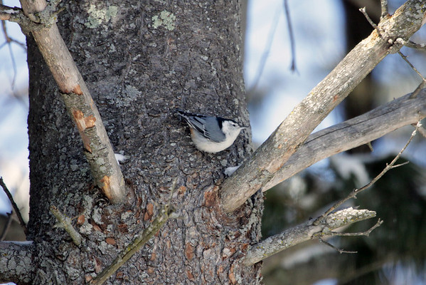 White-breasted Nuthatch - these agile birds creep along trunks and large branches, probing into bark furrows with their straight, pointed bills. Like other nuthatches, they often turn sideways and upside down on vertical surfaces as they forage. They don't lean against their tails like the woodpeckers do.