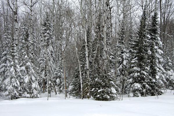 Quaking Aspen (Populus tremuloides) - White Birch (Betula papyrifera) - White Pine (Pinus strobus) - amongst the fresh overnight snow.