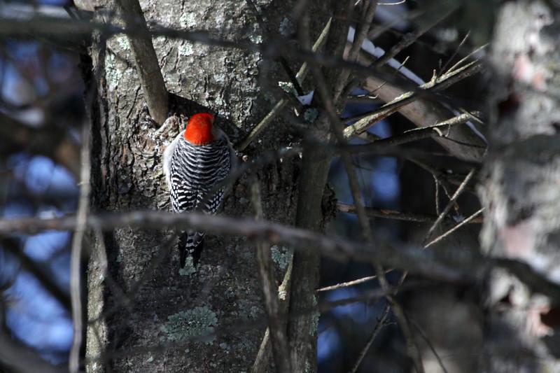 Red Bellied Woodpecker (Melanerpes carolinus) - male specimen (solid red crown).
