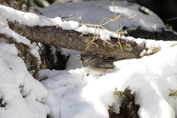 Dark-eyed Junco - munching upon a seed.