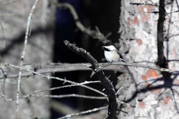Black-capped Chickadee (Poecile atricapillus) - displaying is characteristic black cap and bib, white cheeks, and buffy sides - this species is an omnivore and will hide seeds to eat later.  No sexual dimorphism in this species - the male specimens will sing long songs to the females come mating season though.