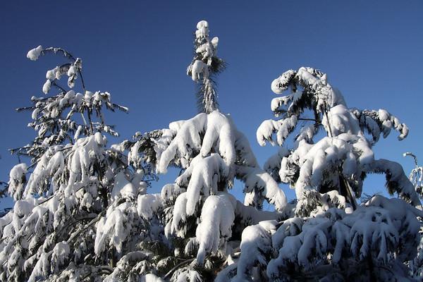 Morning light upon the White Pines (Pinus strobus)