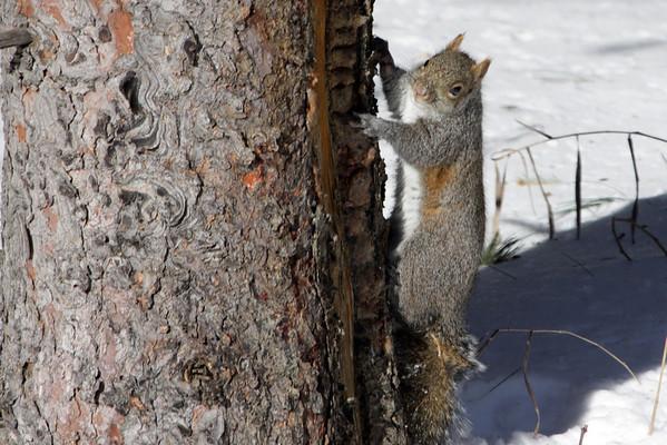 Eastern Grey Squirrel along the pine tree bark.