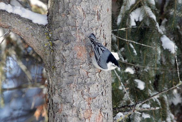 White-breasted Nuthatch - clinging to the pine bark.