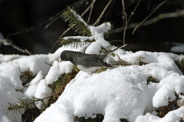 Dark-eyed Junco - this species are primarily seed-eaters, but during the breeding season, they also eat insects (beetles, moths, butterflies, caterpillars, ants, wasps, and flies).