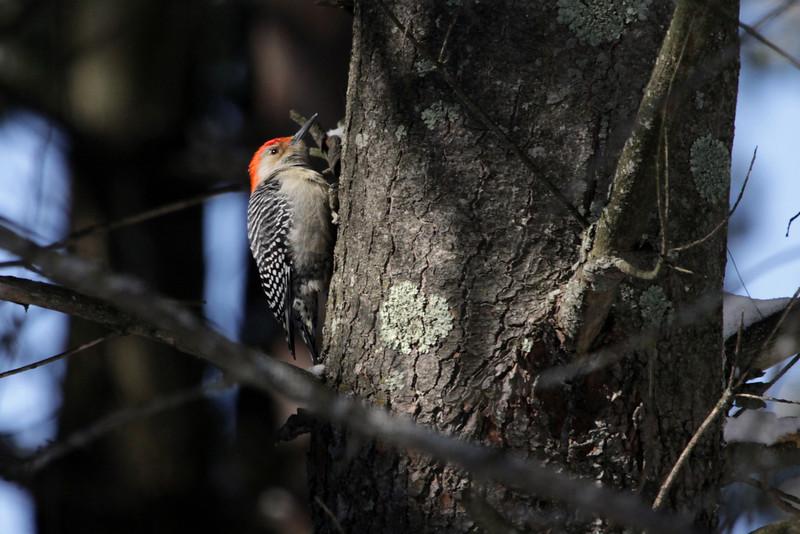 Red Bellied Woodpecker along the foliose lichen.