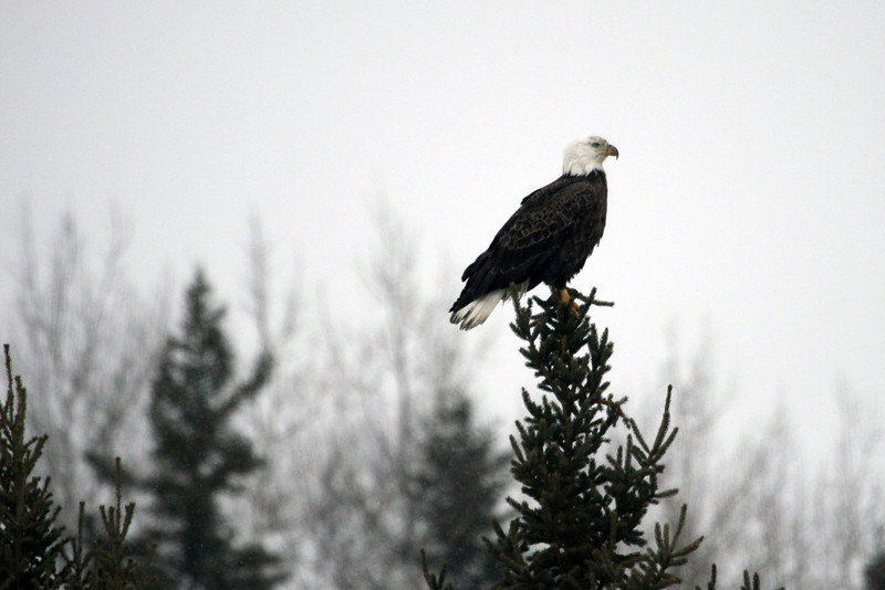 Near mature Bald Eagle.