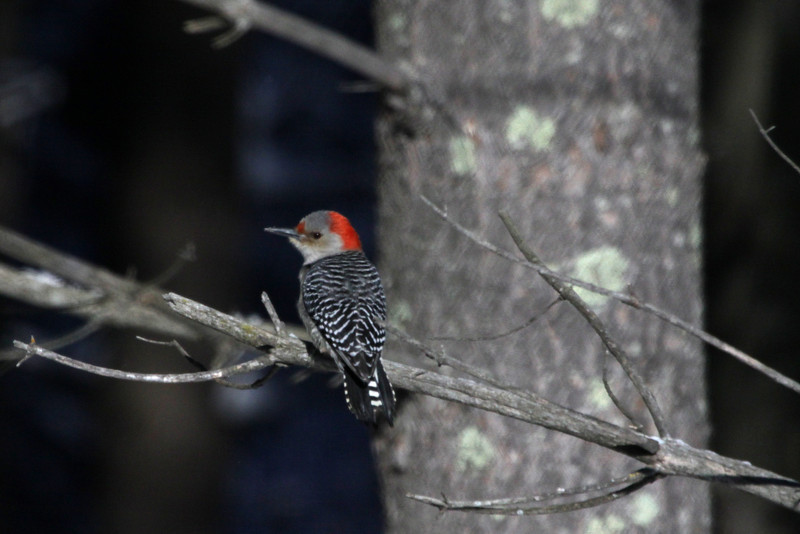 Red Bellied Woodpecker (Melanerpes carolinus) - female specimen (grey crown).