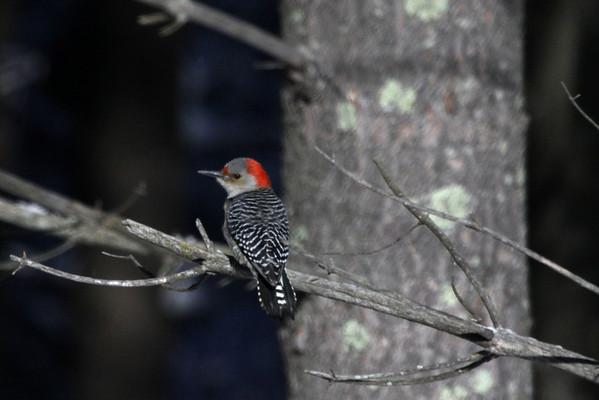 Red Bellied Woodpecker (Melanerpes carolinus) - female specimen (grey crown).