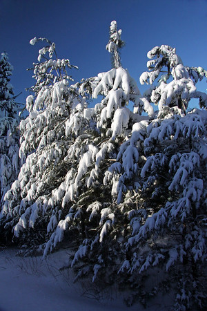 Morning light upon the snow packed limbs of the White Pines.
