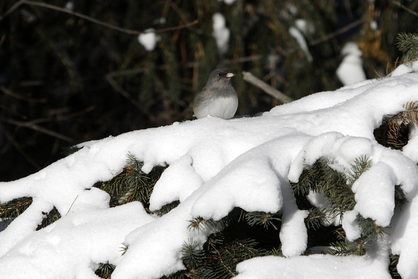Dark-eyed Junco - a medium-sized (about 6 in./15 cm long) sparrow, which in general are a dark gray or brown colored bird, brightened up by a pink bill and white outer tail feathers.