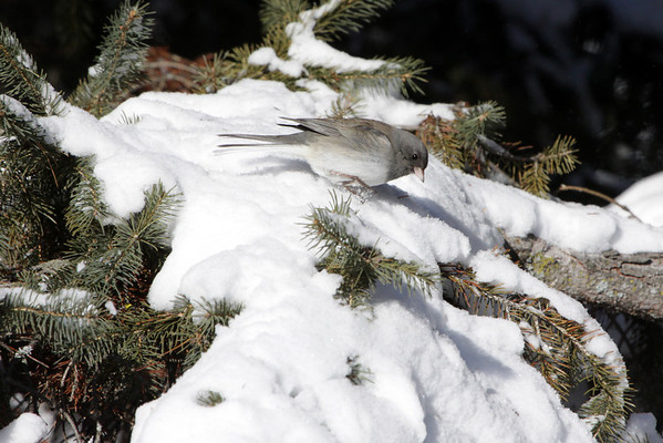 When foraging, Dark-eyed Juncos typically hop (rather than walk) on the ground, pecking or scratching at the leaf litter, or flit very low in underbrush gleaning food from twigs and leaves. They sometimes fly up from the ground to catch insects from tree trunks.