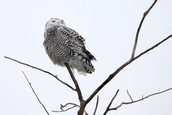 Snowy Owl (Bubo scandiacus) - the largest (by weight), of the North American owls - weighing up to about 6.5 lb. (3 kg), a length of about 28 in. (7 cm), and a wing span near 4.5 ft. (1.3 m).  Females grow larger than males.