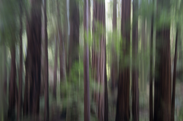 Redwoods Impressionistic