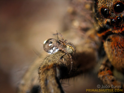 Spiderling drinking water on the mother's leg