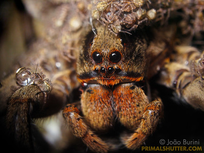 Spiderlings on a wolf spider mother