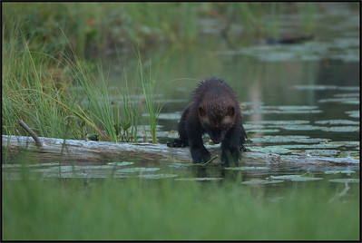 Wolverine ( Gulo gulo )  Finland  Giuseppe Varano - Nature and Wildlife Images - Birds and Nature Photography