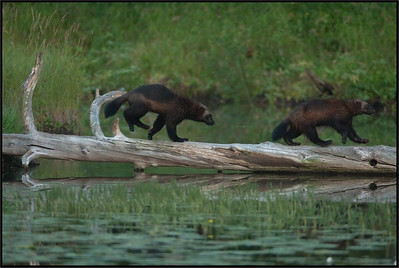 Wolverines ( Gulo gulo )  Finland  Giuseppe Varano - Nature and Wildlife Images - Birds and Nature Photography