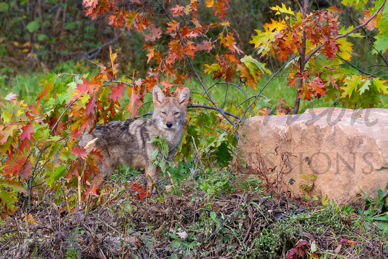 Coyote in Fall Colors