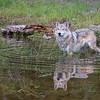 Tundra Wolf - Ripples and Reflections