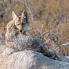 Coy Coyote