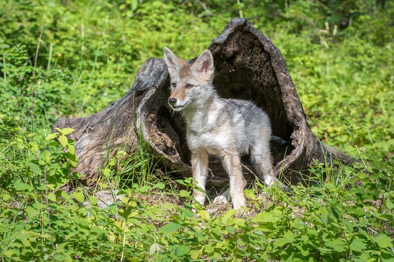 Coyote Pup