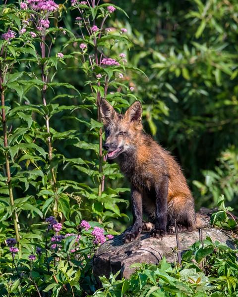 Red Fox in Minnesota