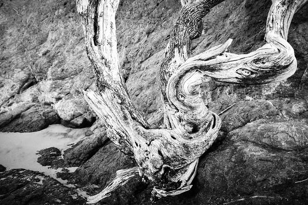 Twisted Tree on Ocean Cliffside, BnW