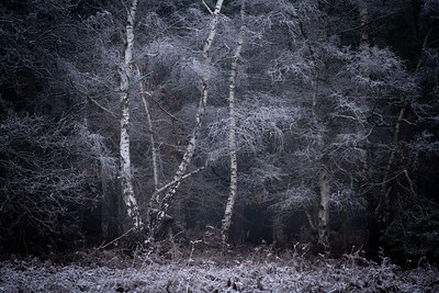 Frosted Birch Trees