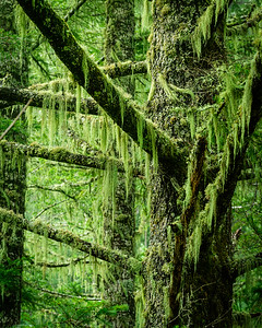 Old Man of the Forest.  This hanging moss is called old man's whiskers, and some say its edible.  Depends on how hungry you are.
