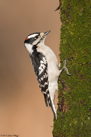Downy, Woodpecker, Picoides pubescens