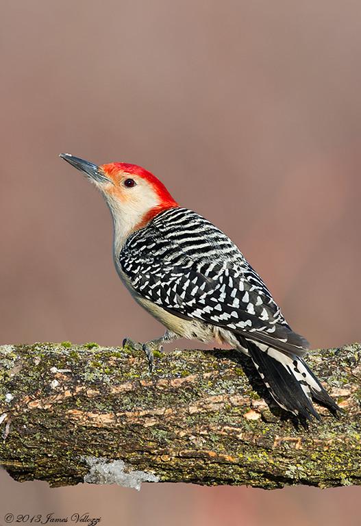 Red-bellied Woodpecker, Melanerpes carolinus
