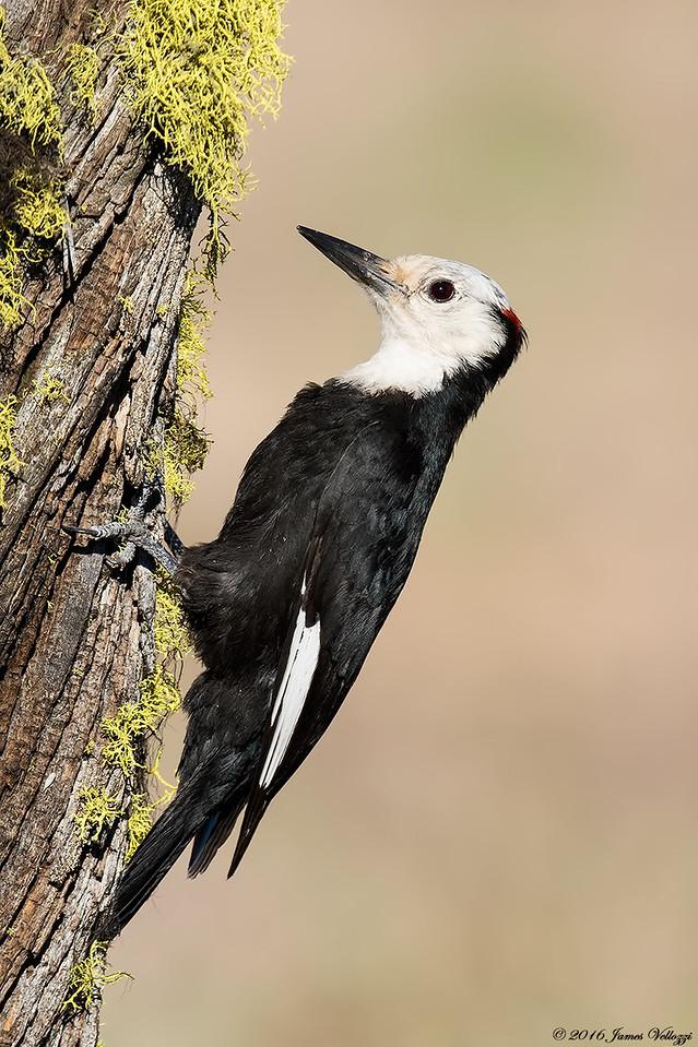 White-headed Woodpecker, Picoides albolarvatus