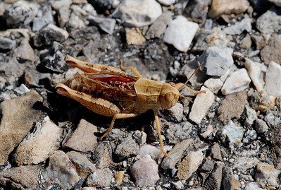 Grasshopper, Camargue South of France 2009 ak
