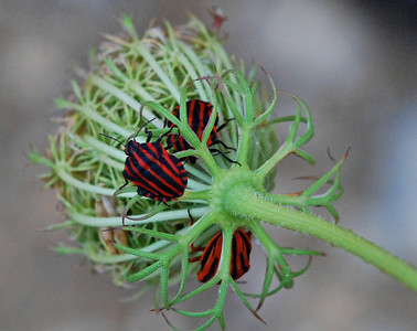 Black and Red striped Shield Bugs mating, Camargue South of France 2009 ak