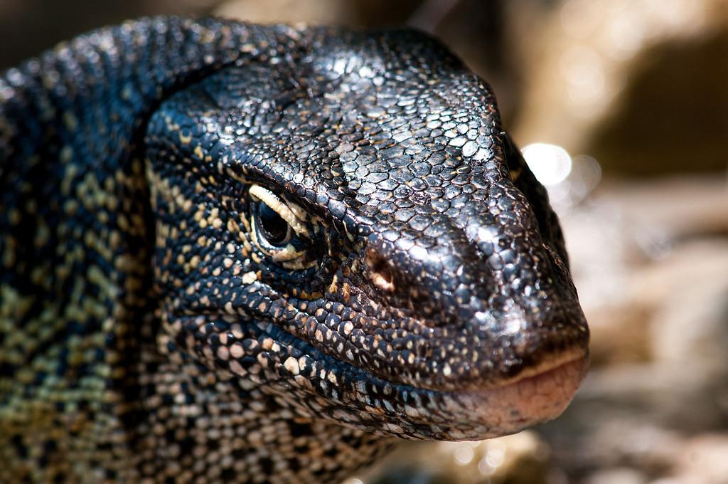 A water lizard.