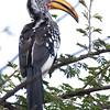 """Yellowbilled hornbill. Nicknamed a """"Flying Banana."""""""