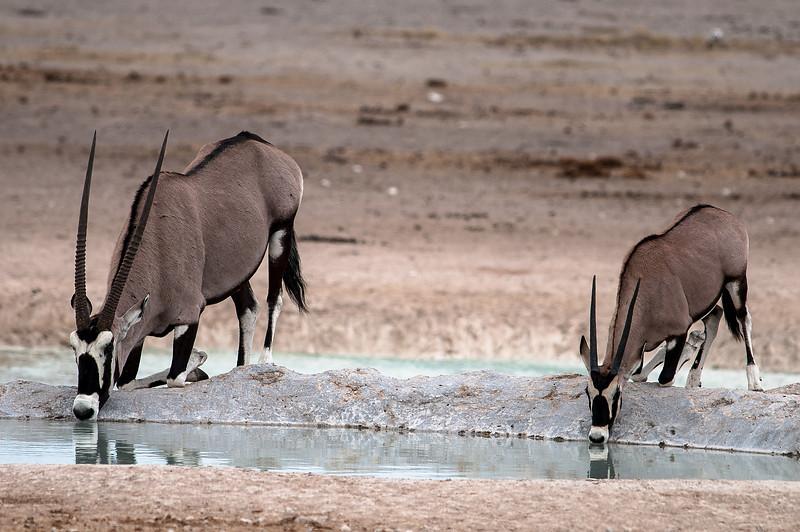 Oryx antelope.