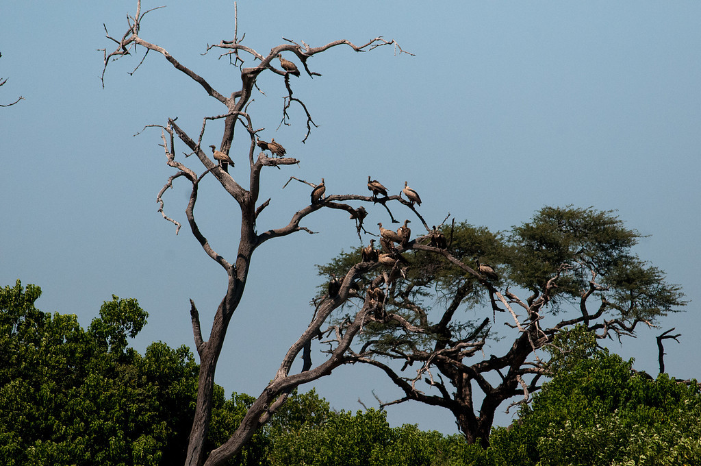 Vultures after a wonderful meal.